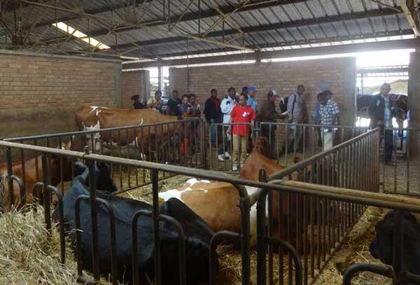 L'élevage de vache laitière réussit bien au FIFAMANOR. Les visiteurs sont attirée par cette filière très rémunératrice